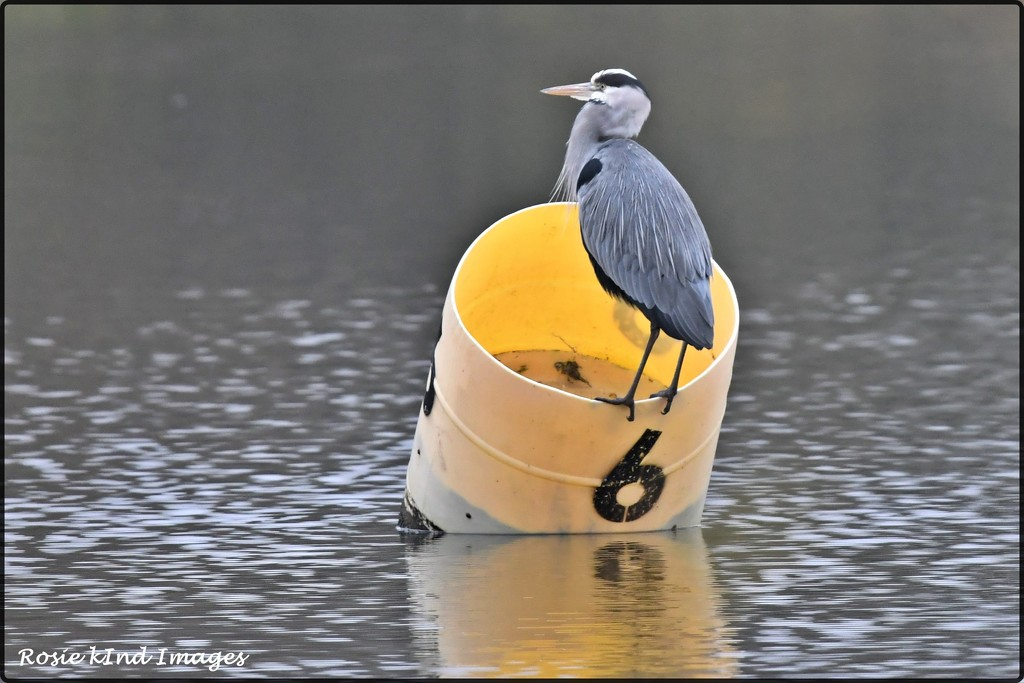 RK3_6117 Mr Heron by rosiekind