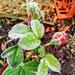 Frosty rosebud