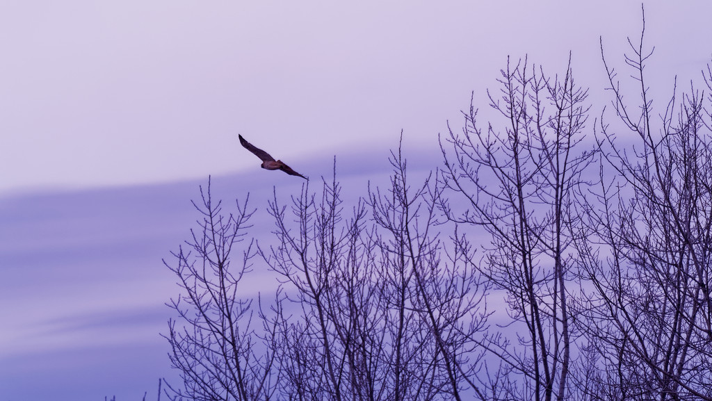 Red-tailed hawk flying by winter trees by rminer
