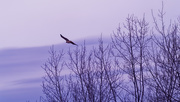 24th Nov 2019 - Red-tailed hawk flying by winter trees