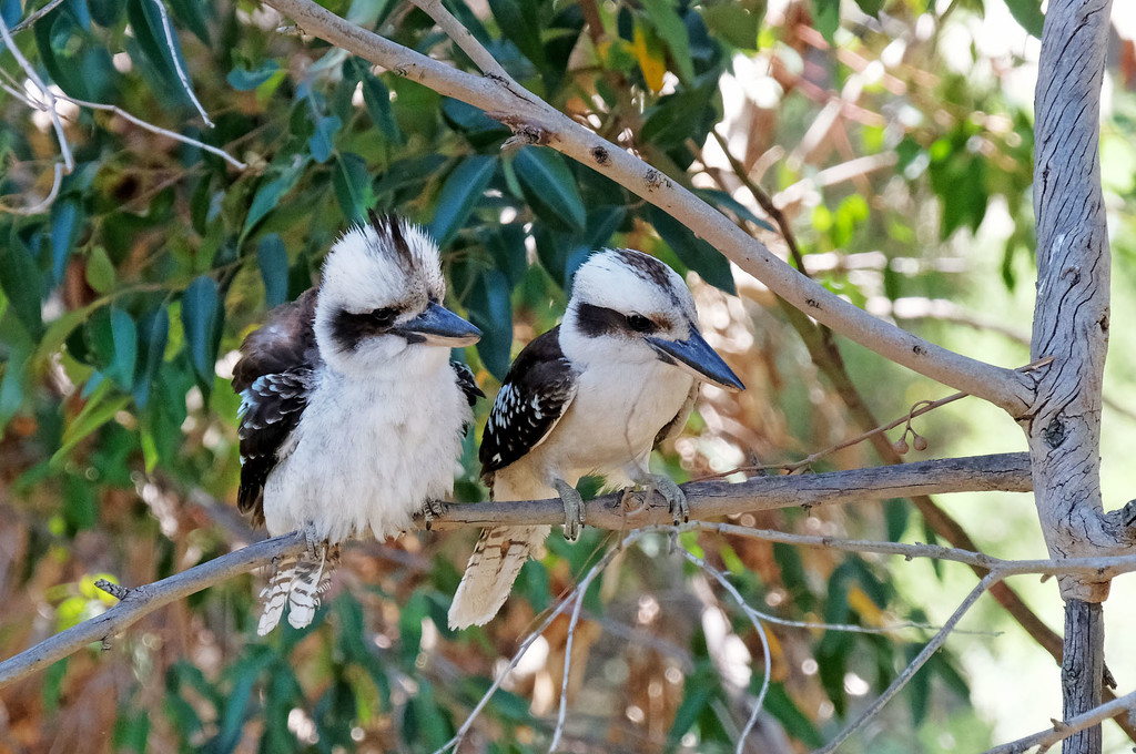 Kookaburras sitting in an old gum tree... by maureenpp
