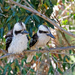 Kookaburras sitting in an old gum tree...