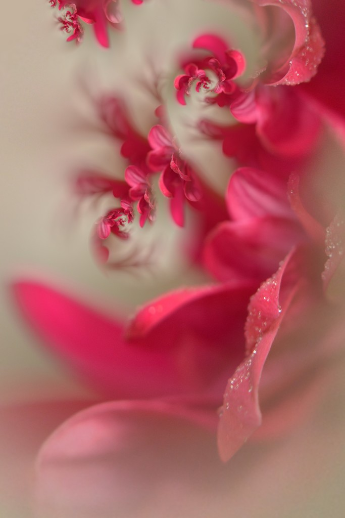 Petals droplets and satin.......... by ziggy77
