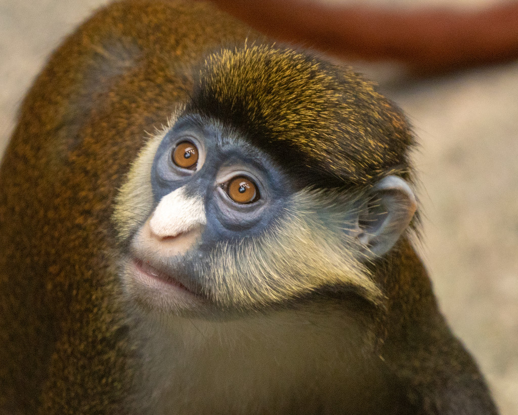 Schmidt's red-tailed monkey Guenon by rminer