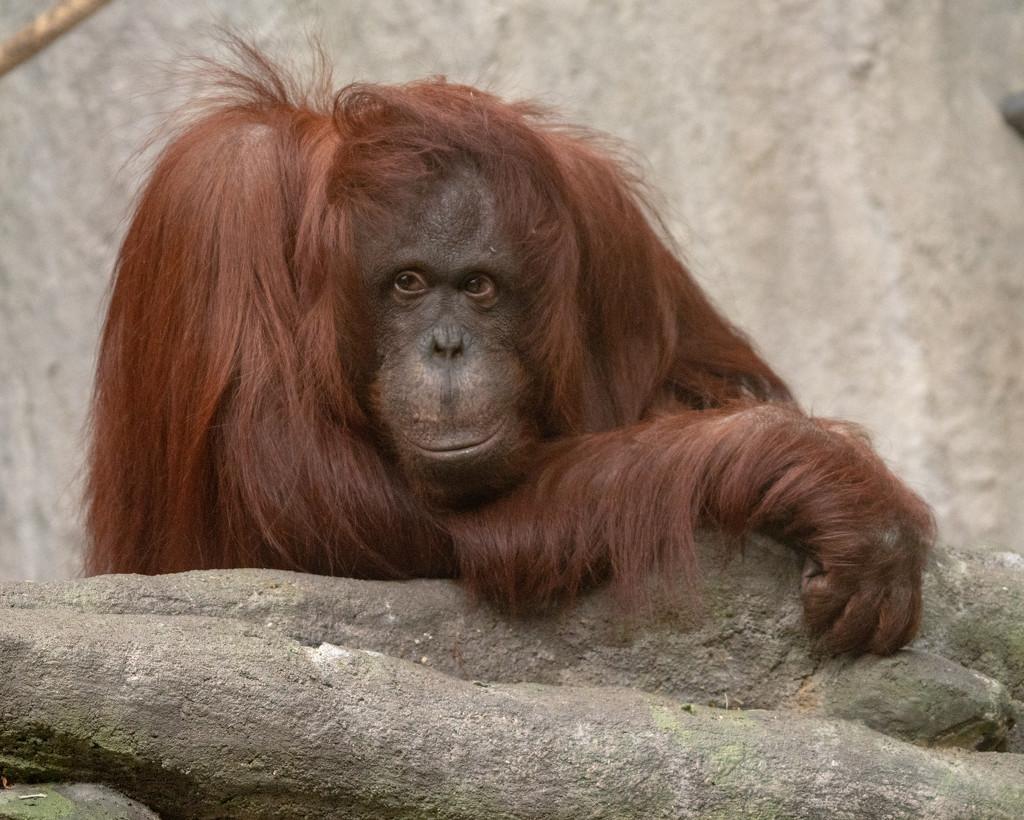Orangutan by rminer
