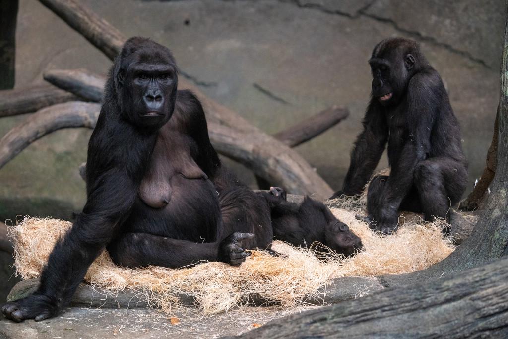 Western Lowland Gorilla by rminer