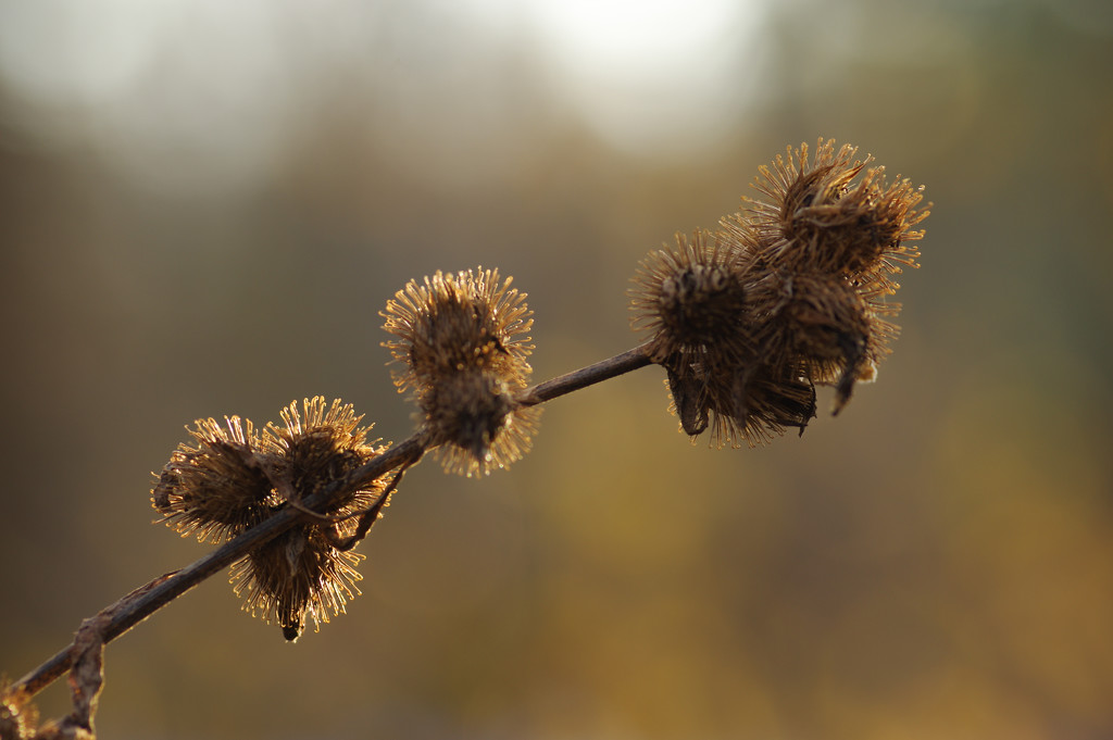 Burrs and Bokeh by mzzhope