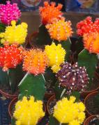 12th Oct 2019 - colourful cactus