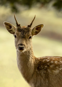 26th Nov 2019 - young fallow deer