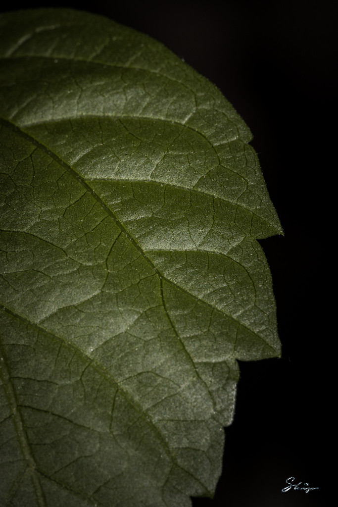 Hibiscus Leaf by skipt07