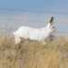 White-tailed jackrabbit movin' out by mjalkotzy