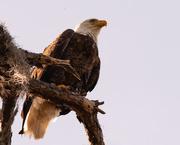 26th Nov 2019 - Bald Eagle, After the Snack!