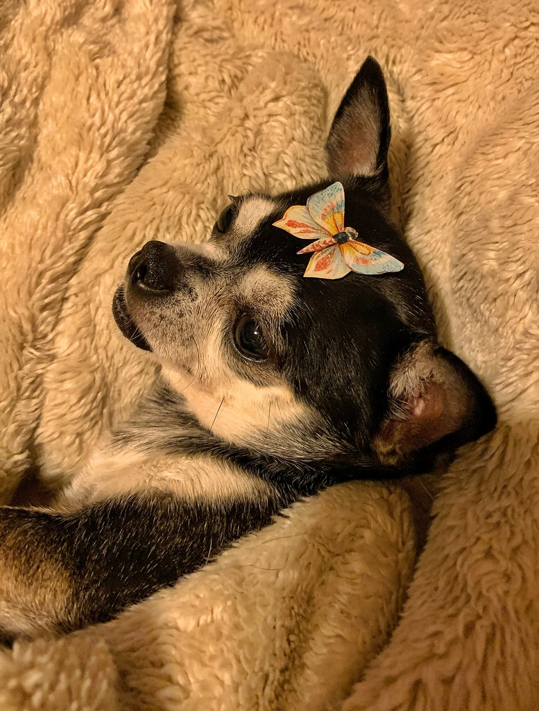 Butterfly and chihuahua.  by cocobella