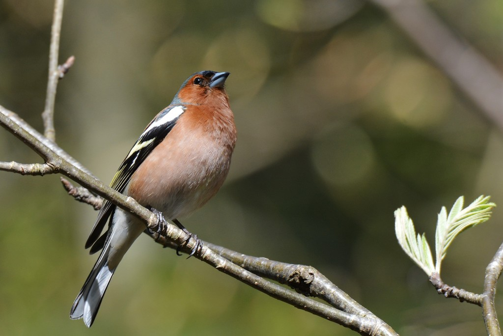 ROK_9178 A male chaffinch by rosiekind