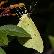 27th Nov 2019 - Cloudless Sulphur Butterfly