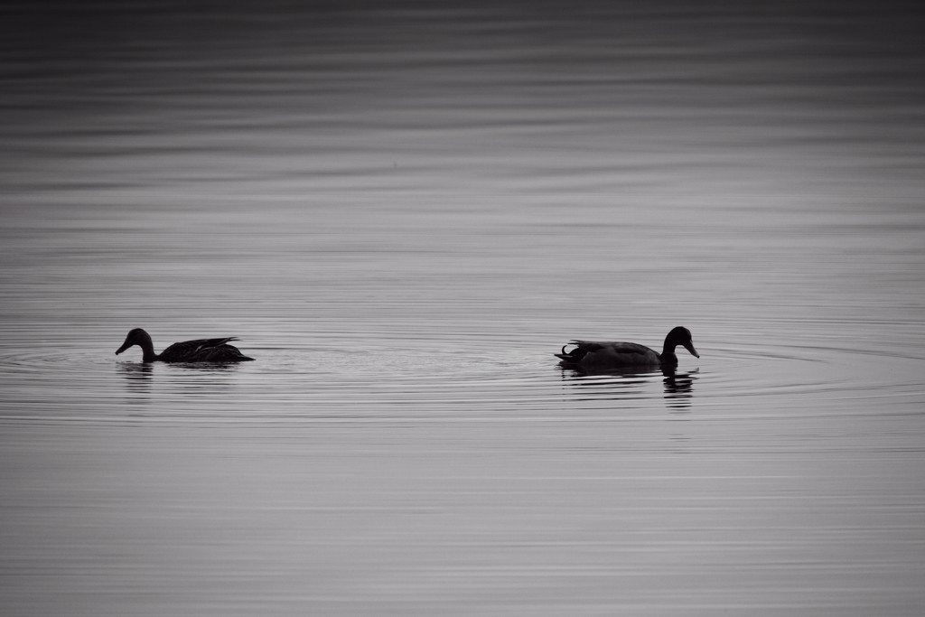 A pair of ripples by kiwinanna