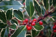 27th Nov 2019 - the holly and.....