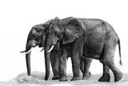 25th Nov 2019 - African Elephants