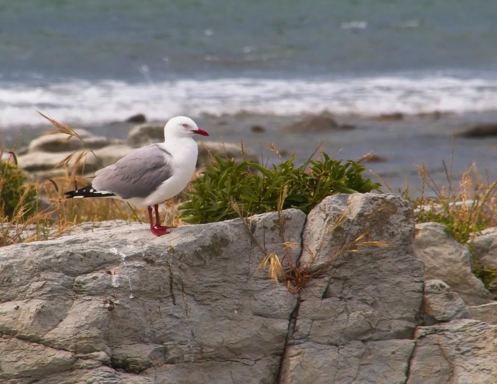 Red billed gull by kiwinanna