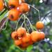 Berberis berries in the rain