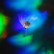 24th Nov 2019 - dandy droplet