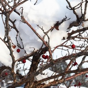 27th Nov 2019 - Crabapples and snow