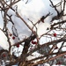 Crabapples and snow