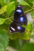 28th Nov 2019 - Blue Moon Butterfly