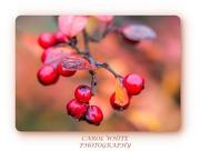 28th Nov 2019 - Cotoneaster Berries