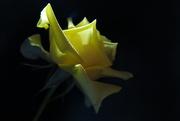 28th Nov 2019 - Rose