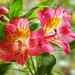 Alstroemeria by suesmith