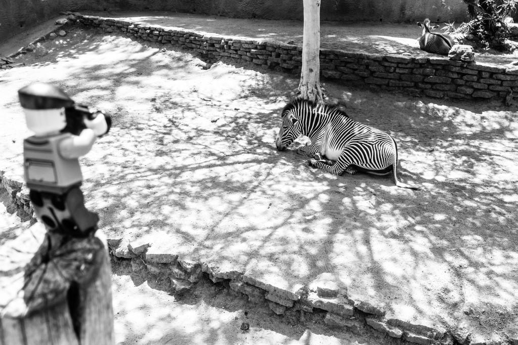 (Day 288) - Stunning Mr. Stripes  by cjphoto