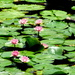 Water Lillies at Mt Cootha Botanical Gardens