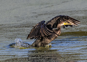 29th Nov 2019 - Cormorant at the wetlands