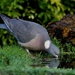 THIRSTY PIGEON by markp