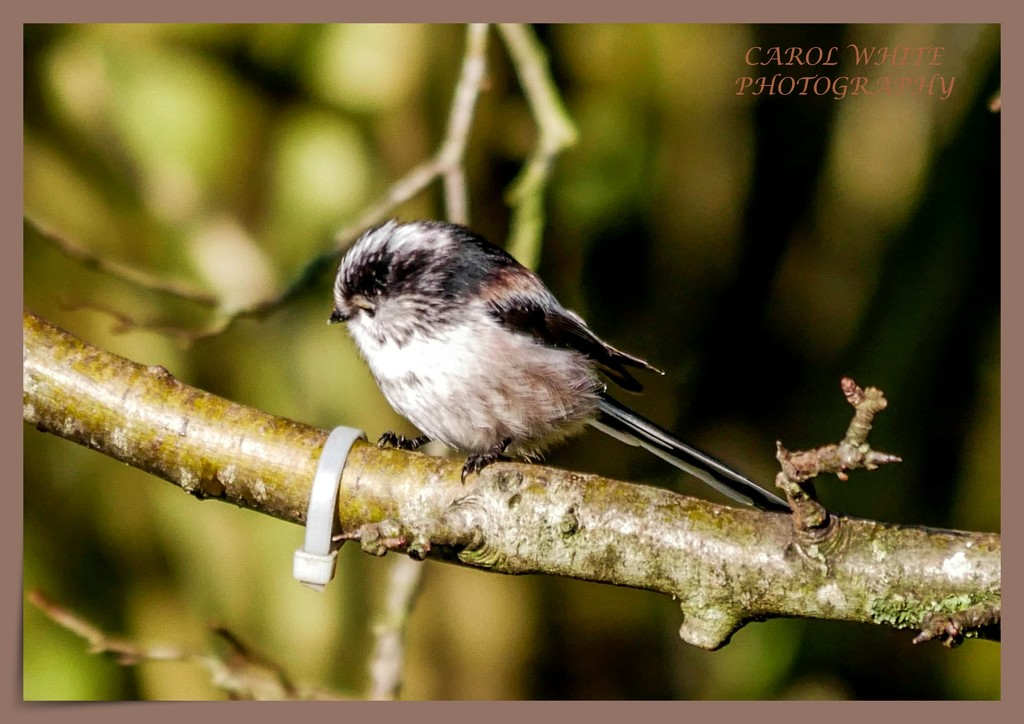 My Favourite Little Bird by carolmw