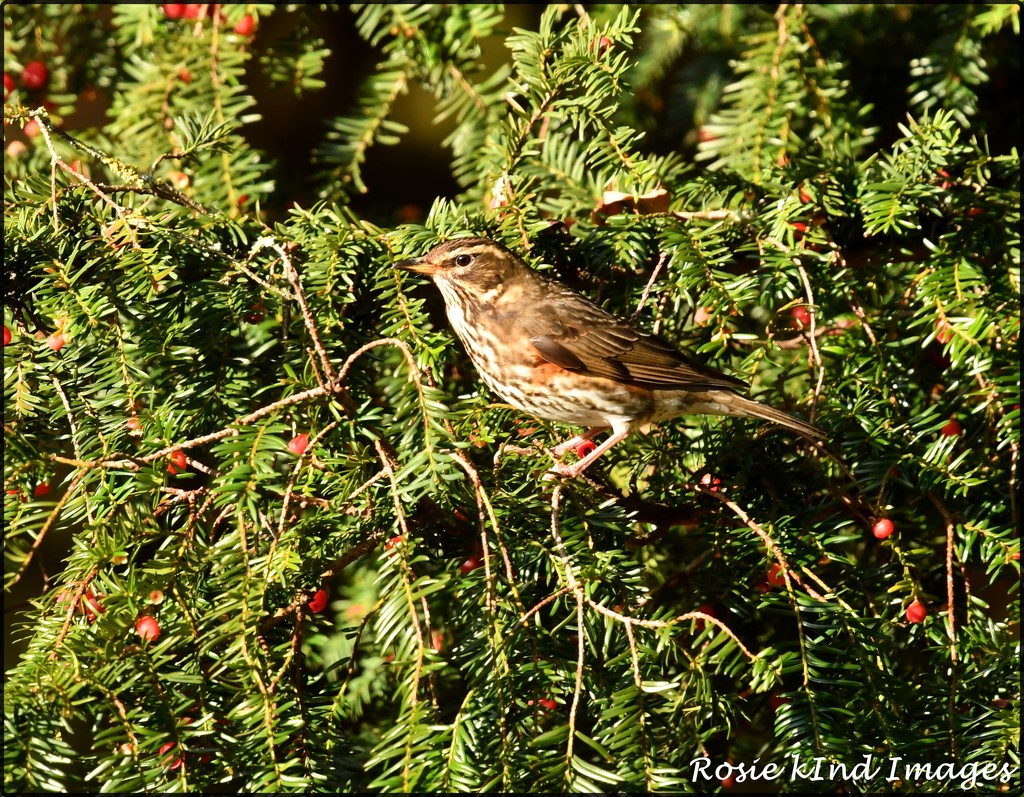 RK3_6321  Redwing in the berries by rosiekind