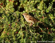 29th Nov 2019 - RK3_6321  Redwing in the berries