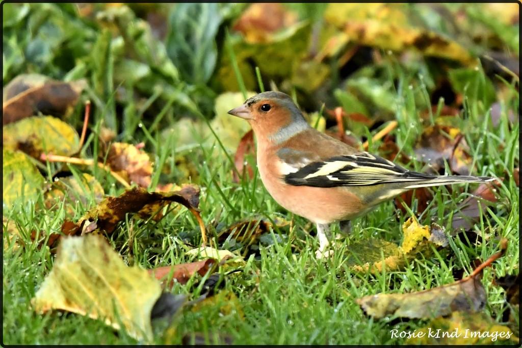 RK3_6282  Lovely male chaffinch by rosiekind