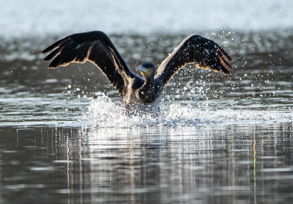 Cormorant splashdown by stevejacob