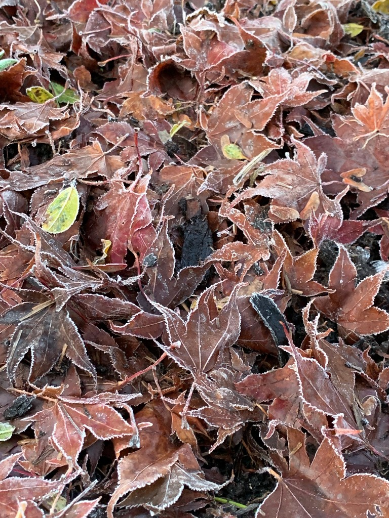 Frosty Leaves by 365projectmaxine