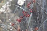 29th Nov 2019 - Berries