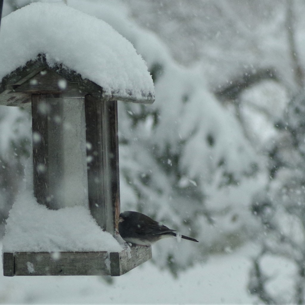 The Junco has Returned! by radiogirl