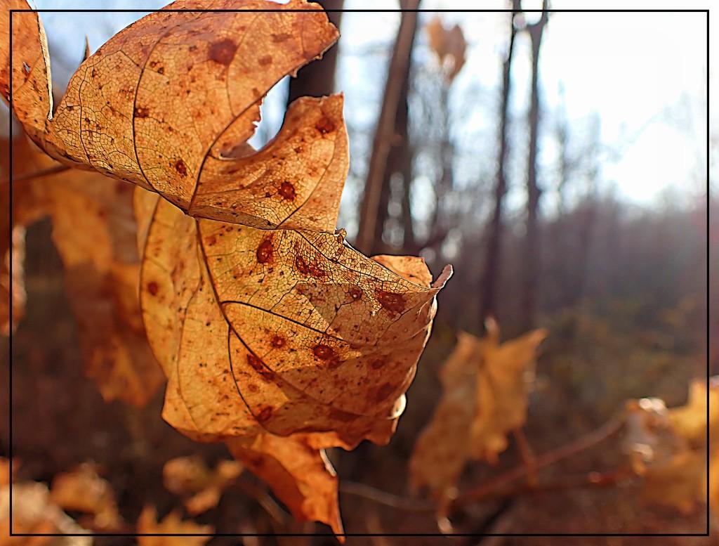 The Autumn Sun Through a Golden Leaf by olivetreeann