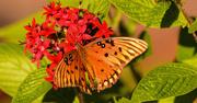 29th Nov 2019 - Gulf Fritillary Butterfly's Still Around