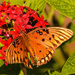 Gulf Fritillary Butterfly's Still Around