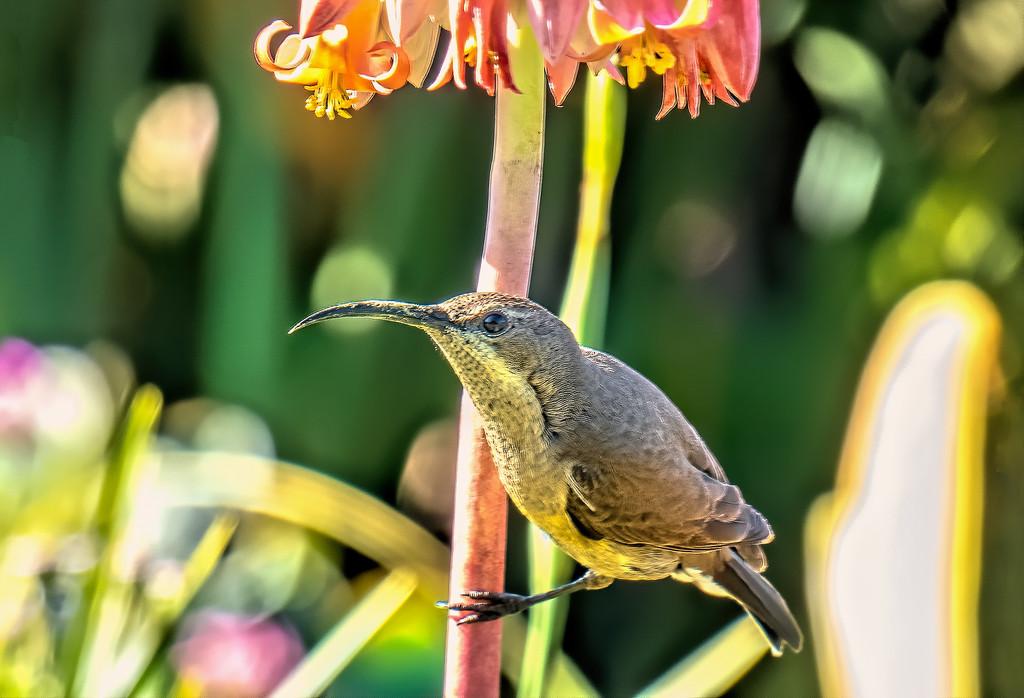 Female Malachite Sunbird by ludwigsdiana