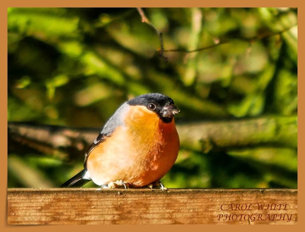 Bullfinch (male) by carolmw