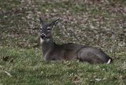 30th Nov 2019 - Deer resting