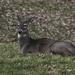 Deer resting by mittens